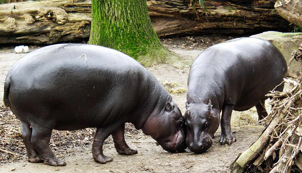 A pair of pygmy hippos rubbing their heads together near a large tree.