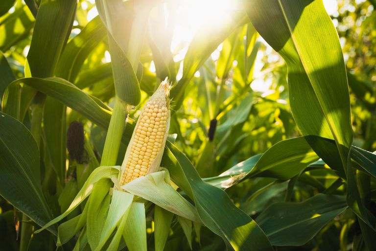 Close up of food corn on green field, sunny outdoor background