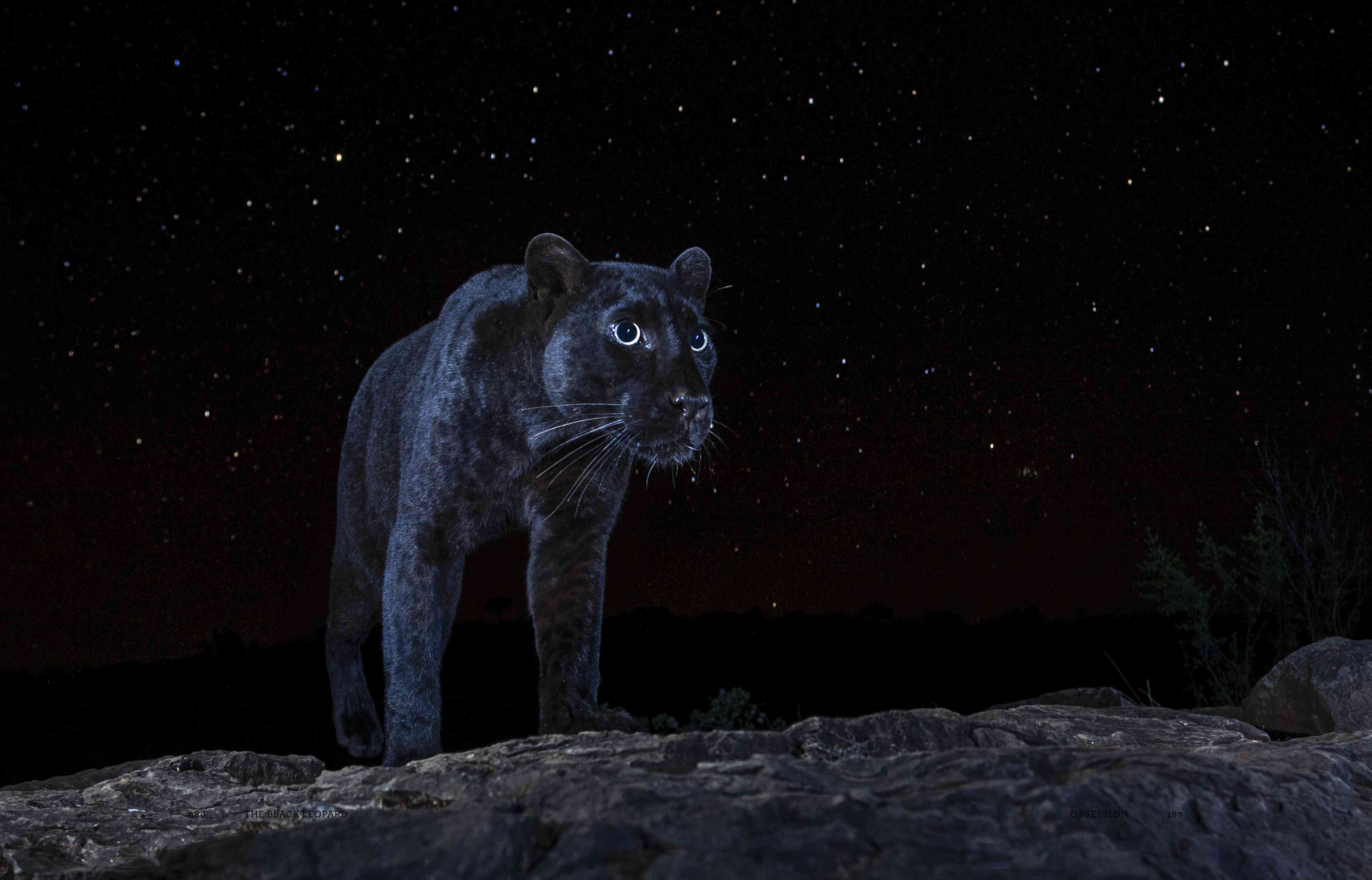 black leopard at nigh