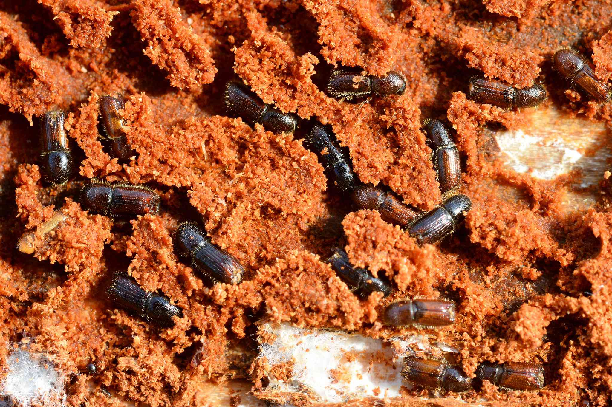 lesser larch bark beetles and their galleries under the bark of a black pine tree