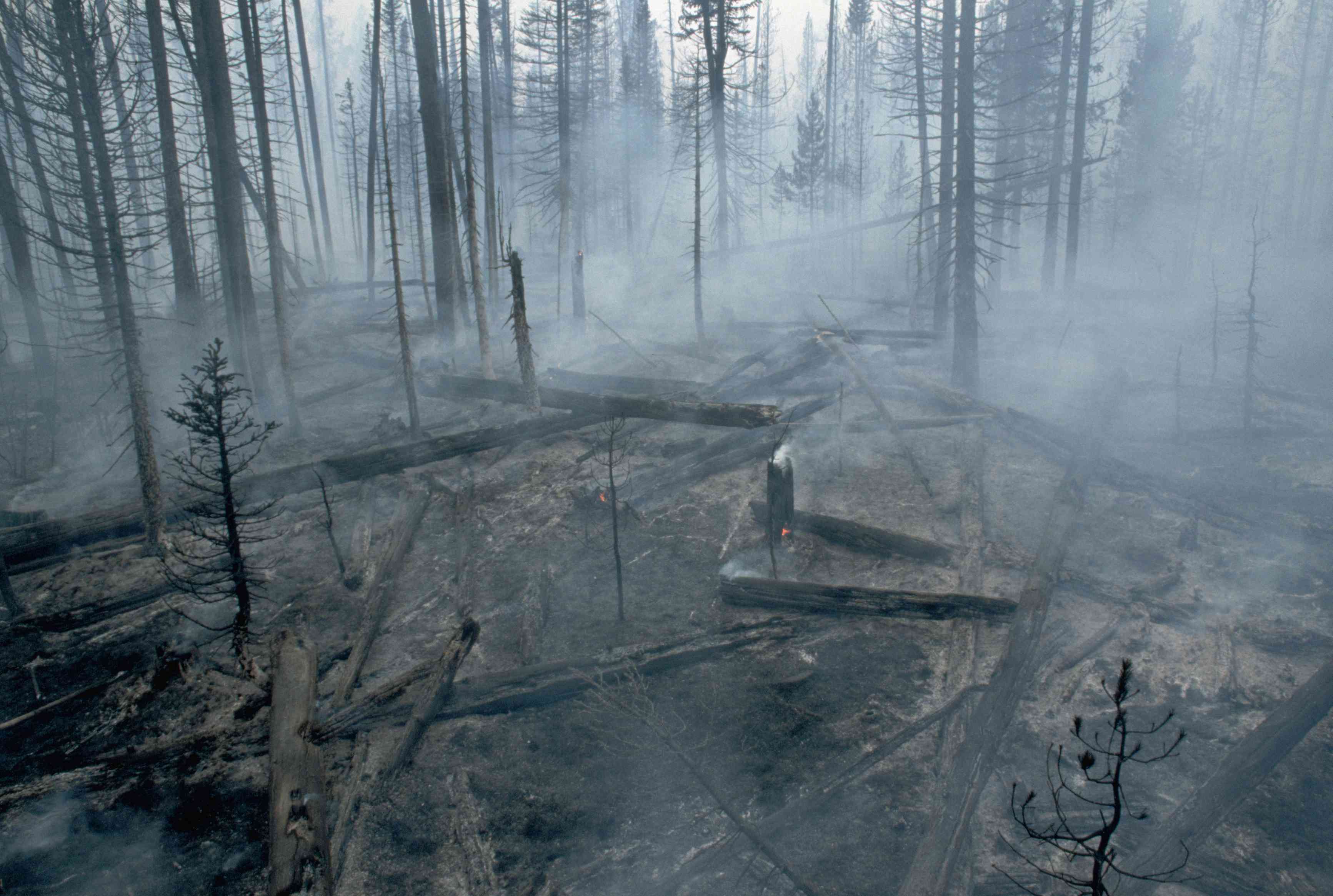 A lodgepole pine forest after a fire