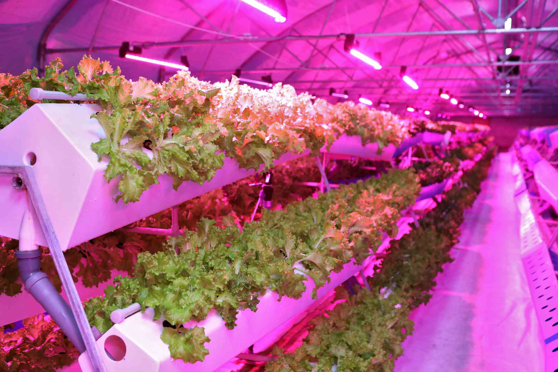 Lettuce growing in an aeroponics greenhouse
