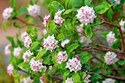 Daphne odona / Japan daphne / Daphne indica