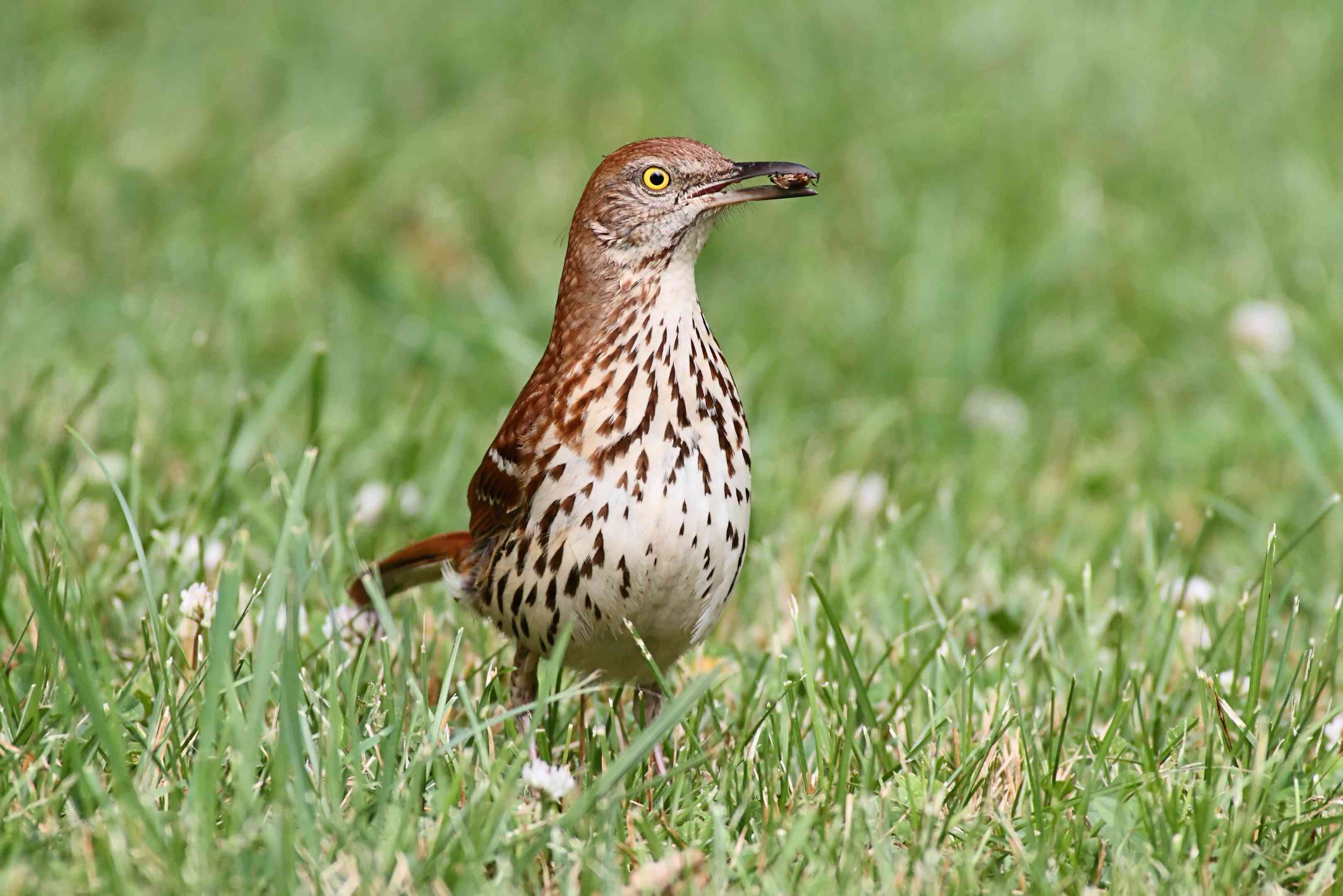 brown thrasher eating insect