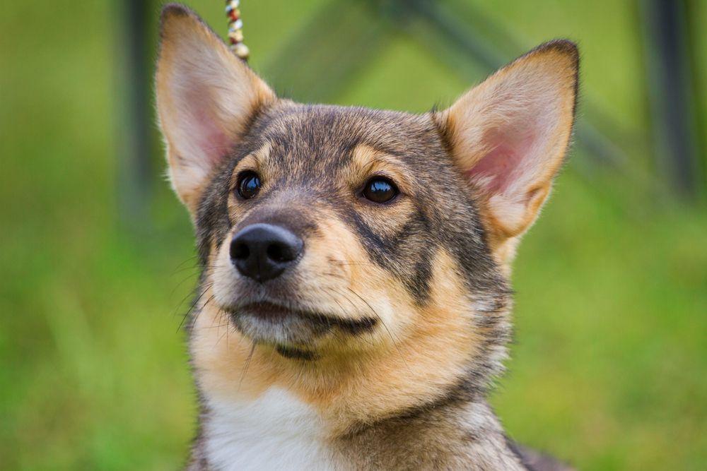 headshot of a Swedish vallhund