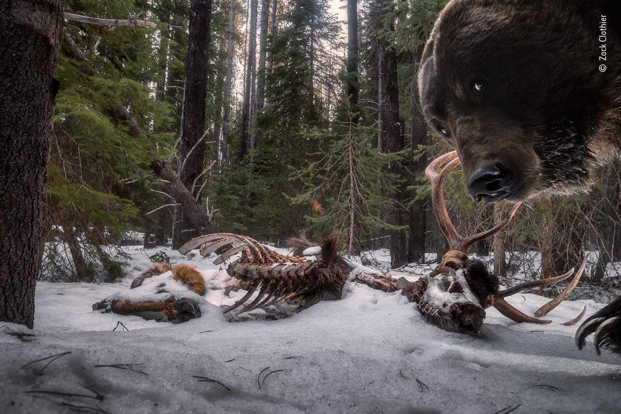 grizzlies with remains