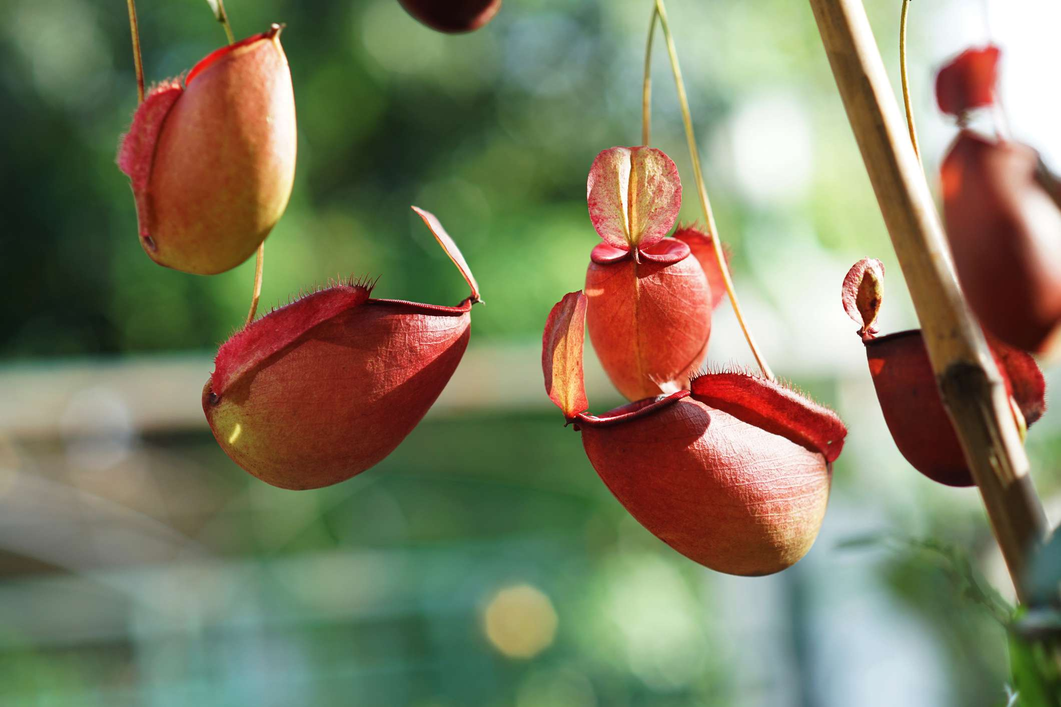 Hanging pitcher plant cups