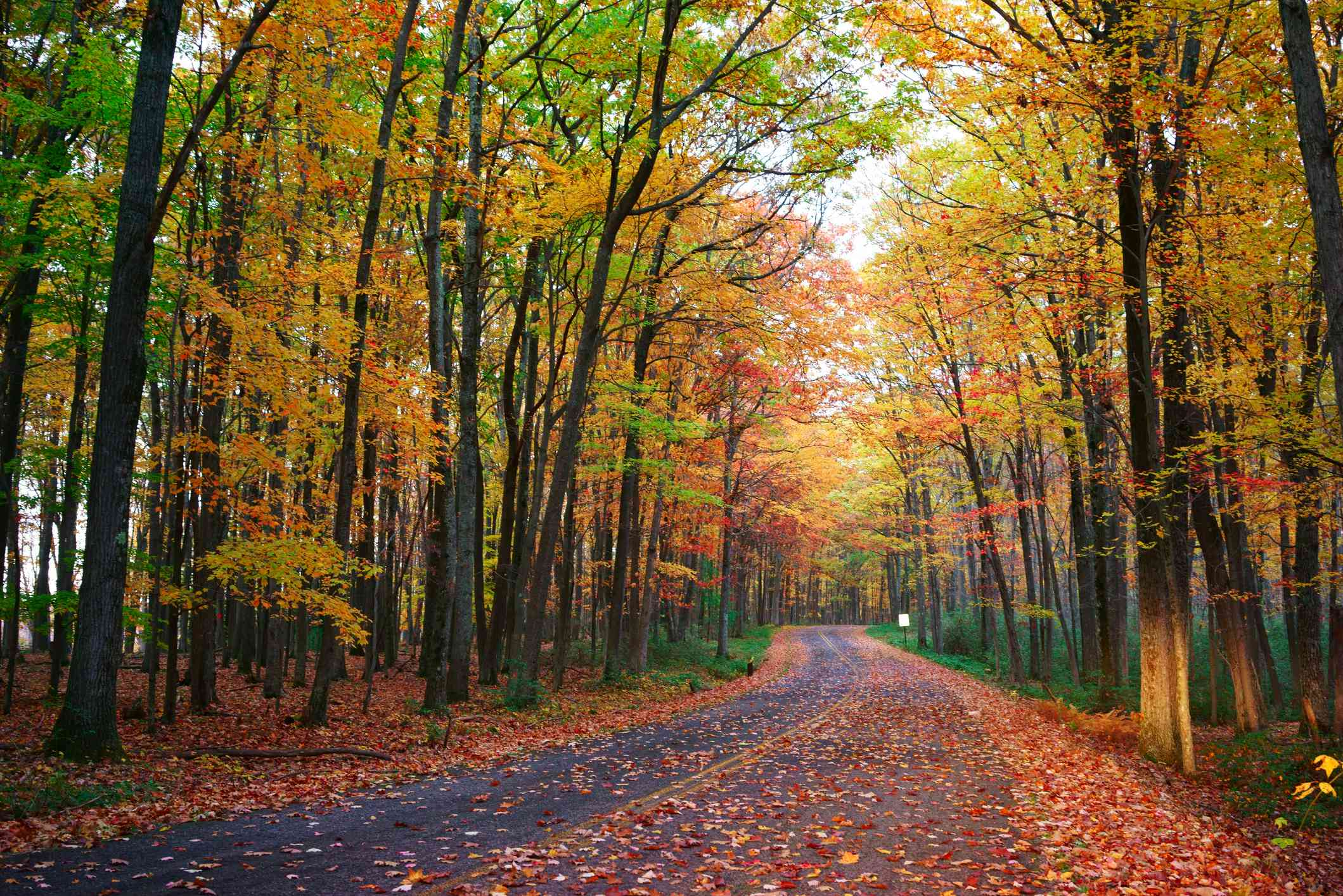 A walking path in Allegany State Park covered in fall leaves surrounded by tall trees in bright shades of red, yellow, orange, and green