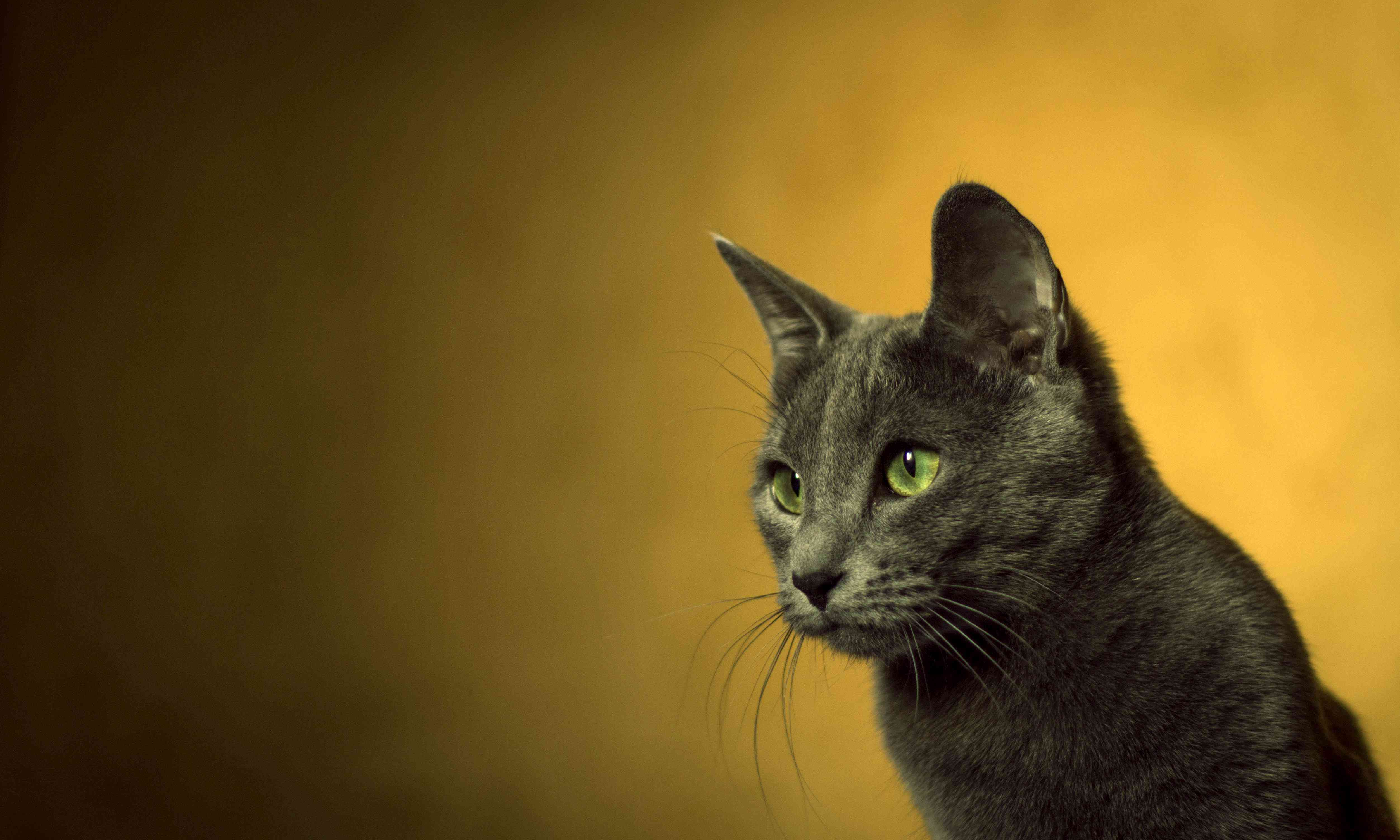 cat in front of a yellow background