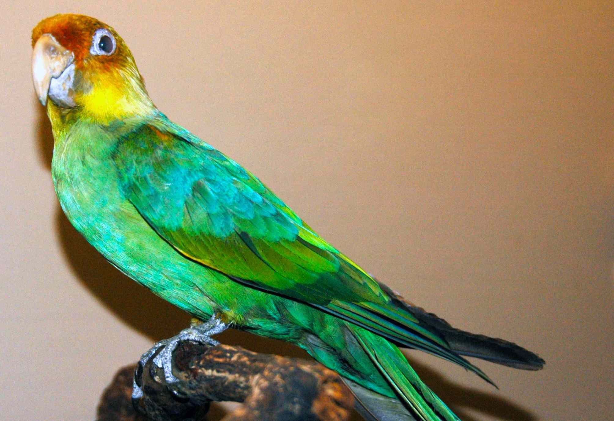 a taxidermy mount of a bright green parrot type bird with an orange brown head and yellow markings on neck