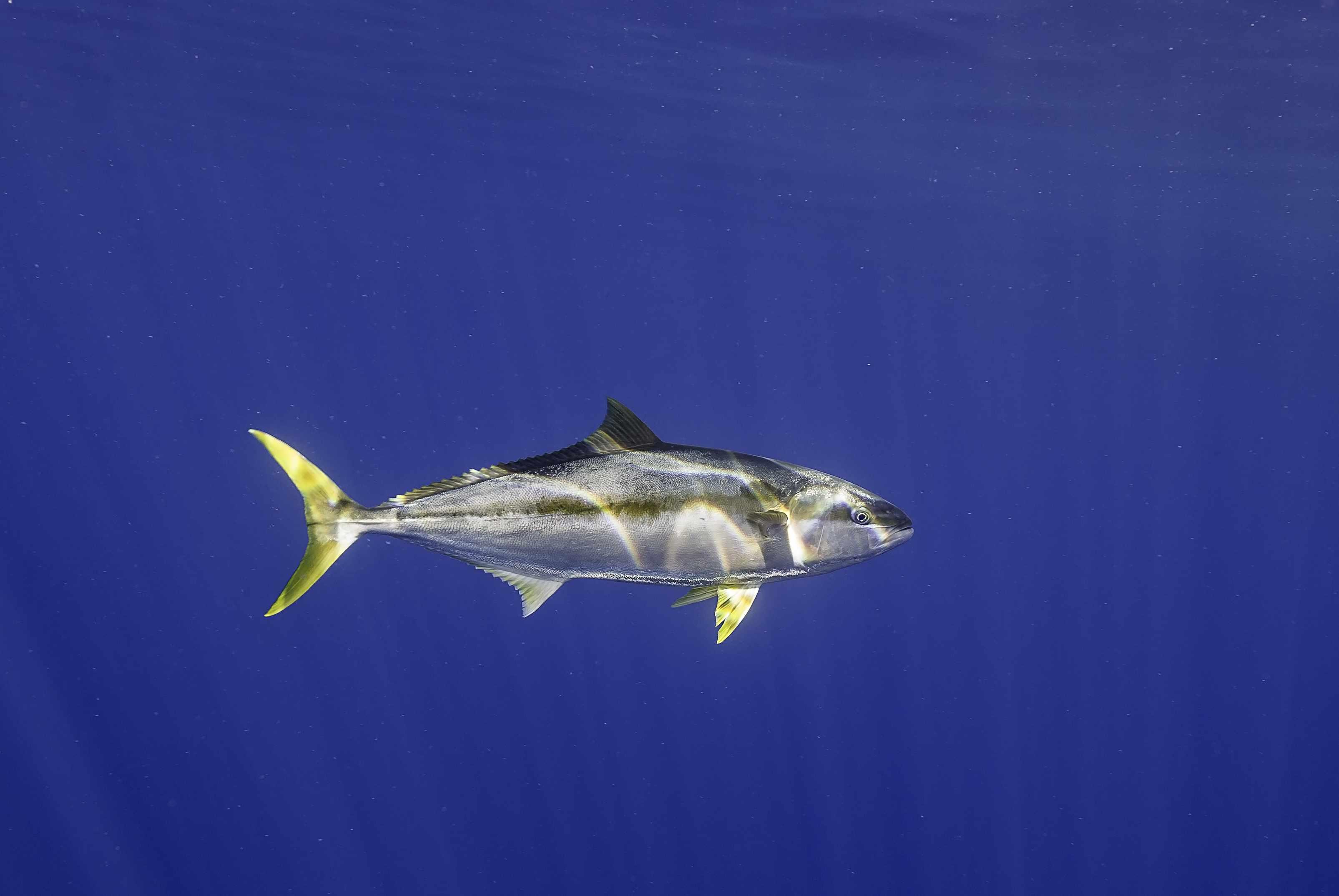 Underwater shot of yellowfin tuna