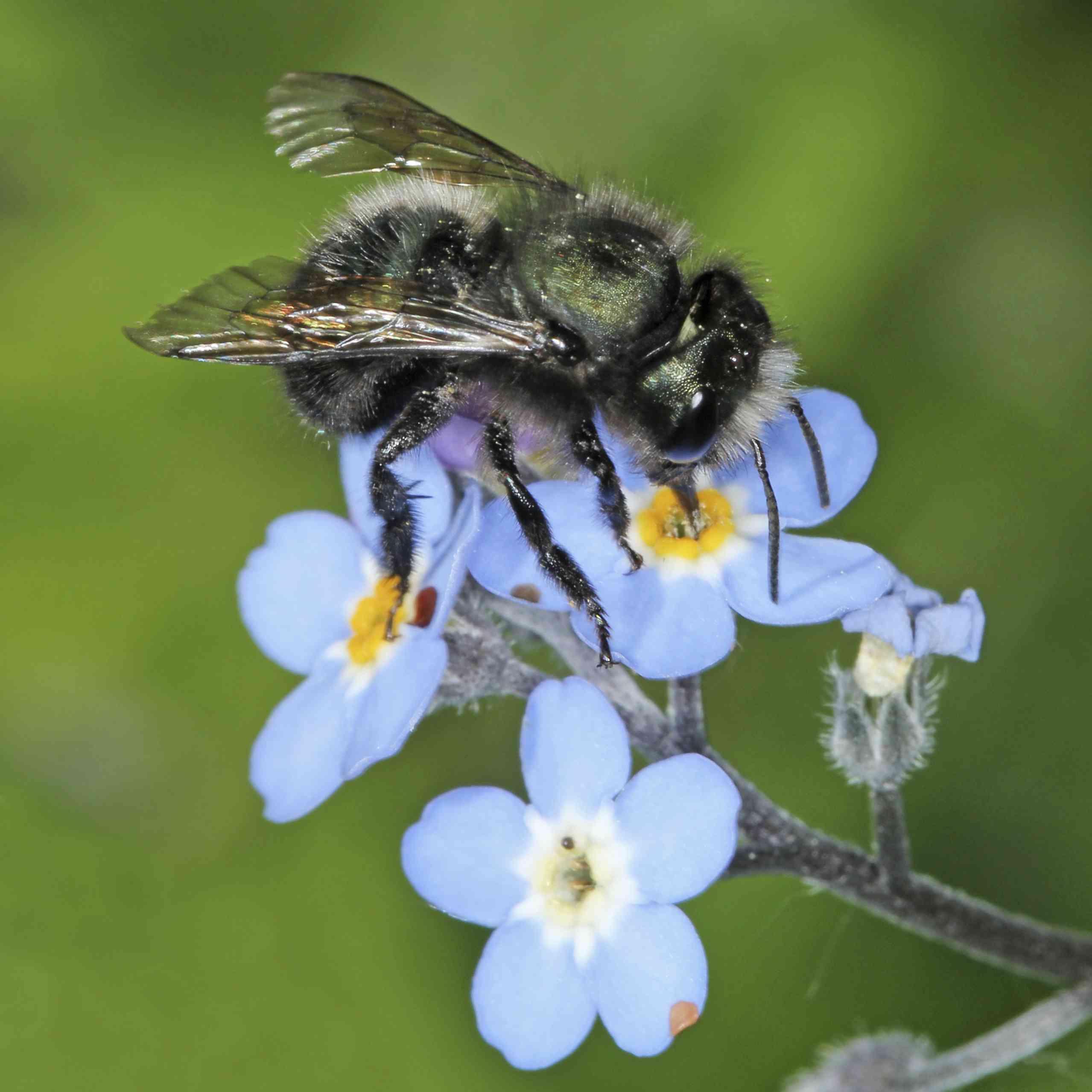 wild bee on blue flower