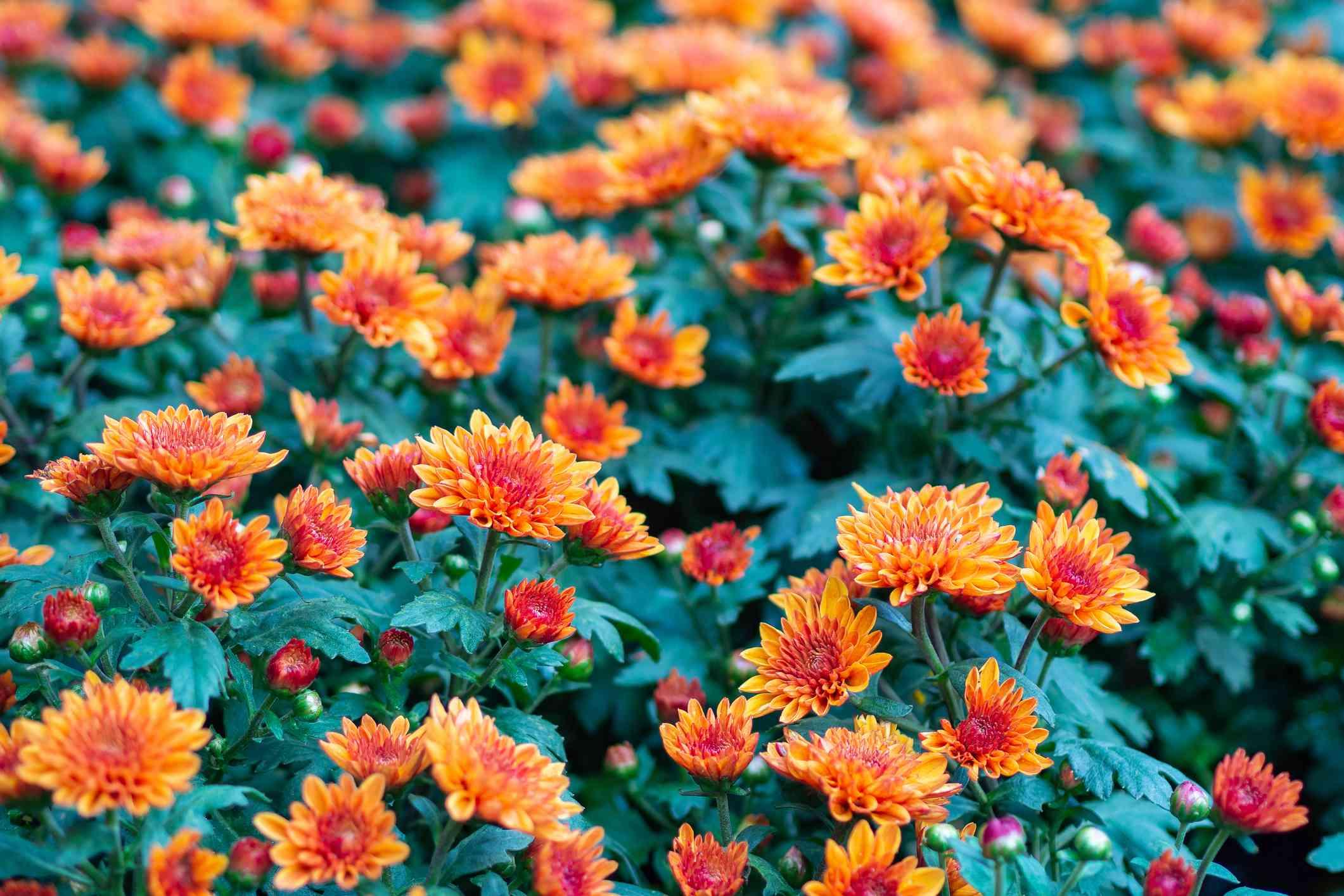 Close up of Chrysanthemum flowers