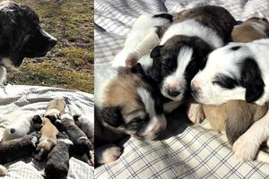 livestock guardian dog puppies