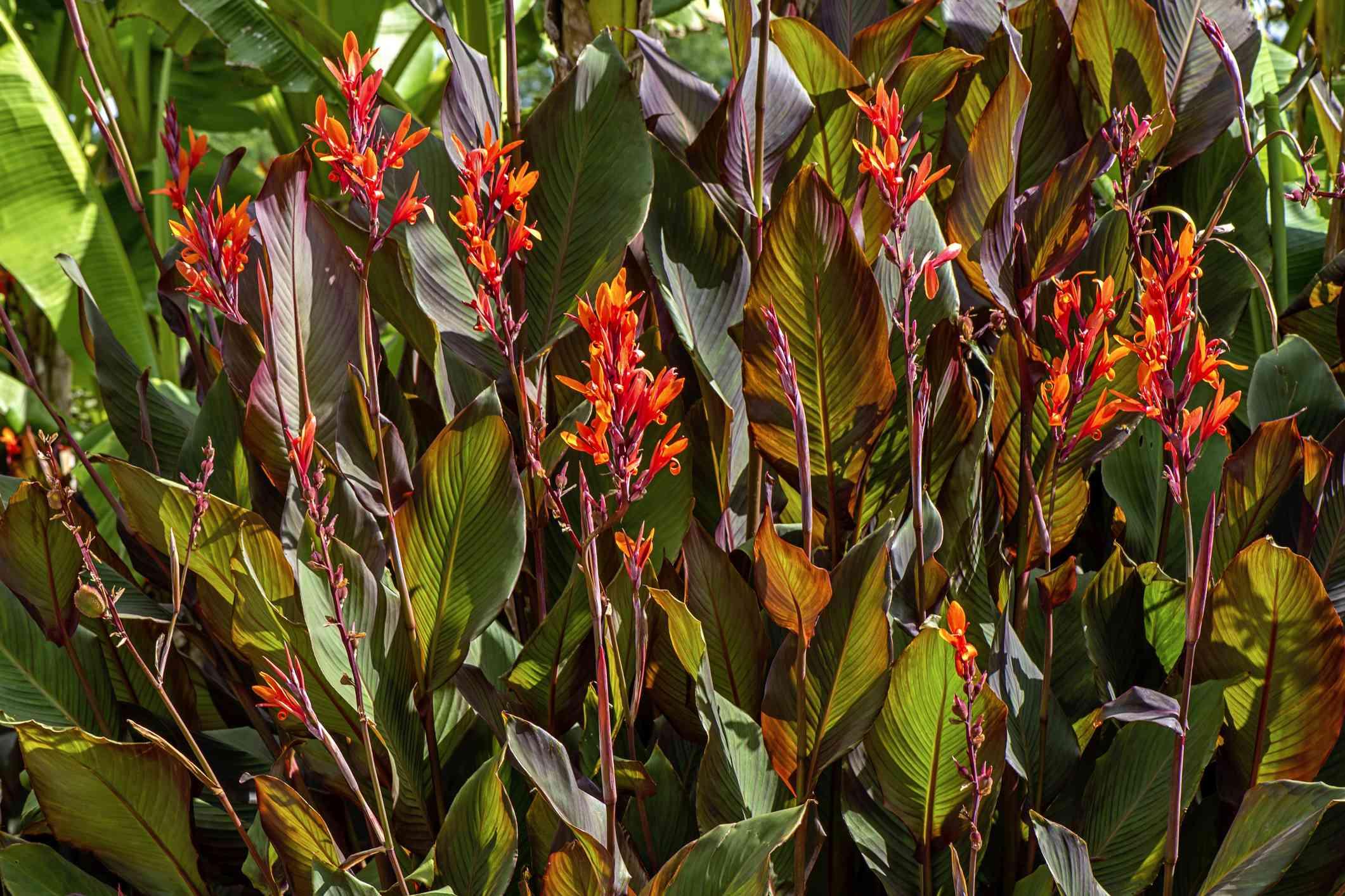 Beautiful vibrant coloured Cannas - Canna Lily orange flowers