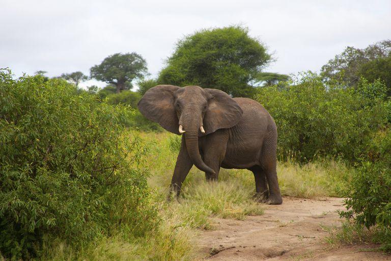 An elephant in the Botswana bush.