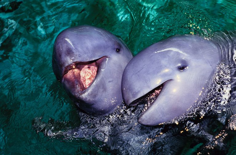 Two gray Irawaddy dolphins poke their heads out of the water