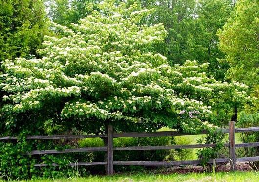 Alternate leaf dogwood