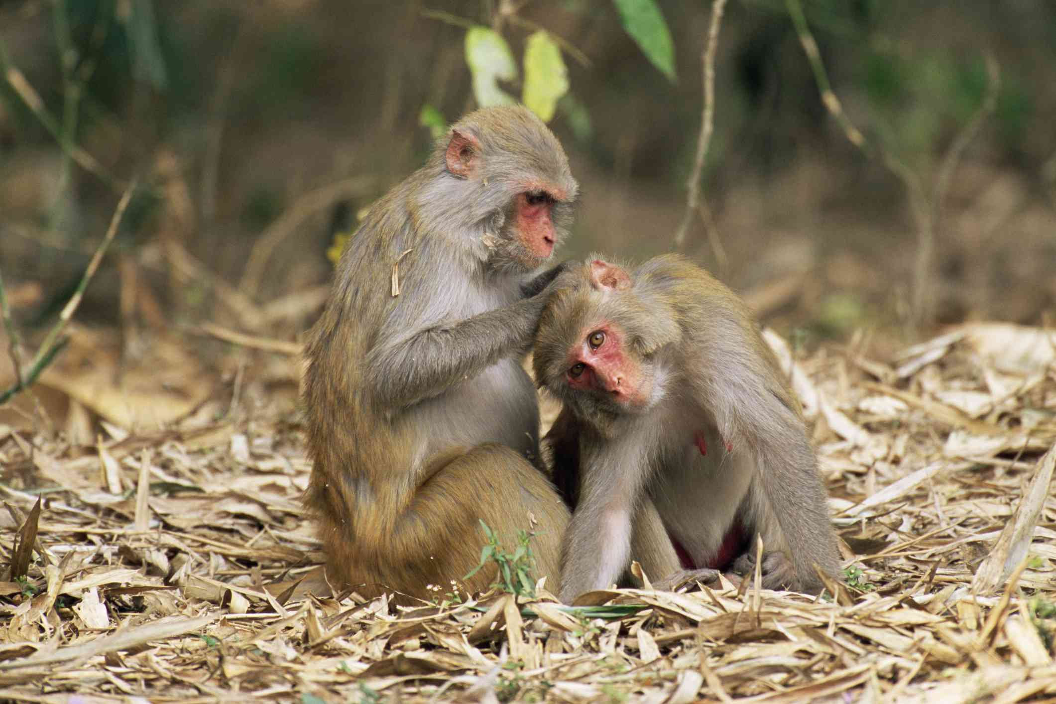 a pair of rhesus macaques grooming each other
