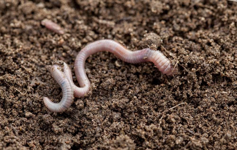 Earthworm in the dirt, closeup