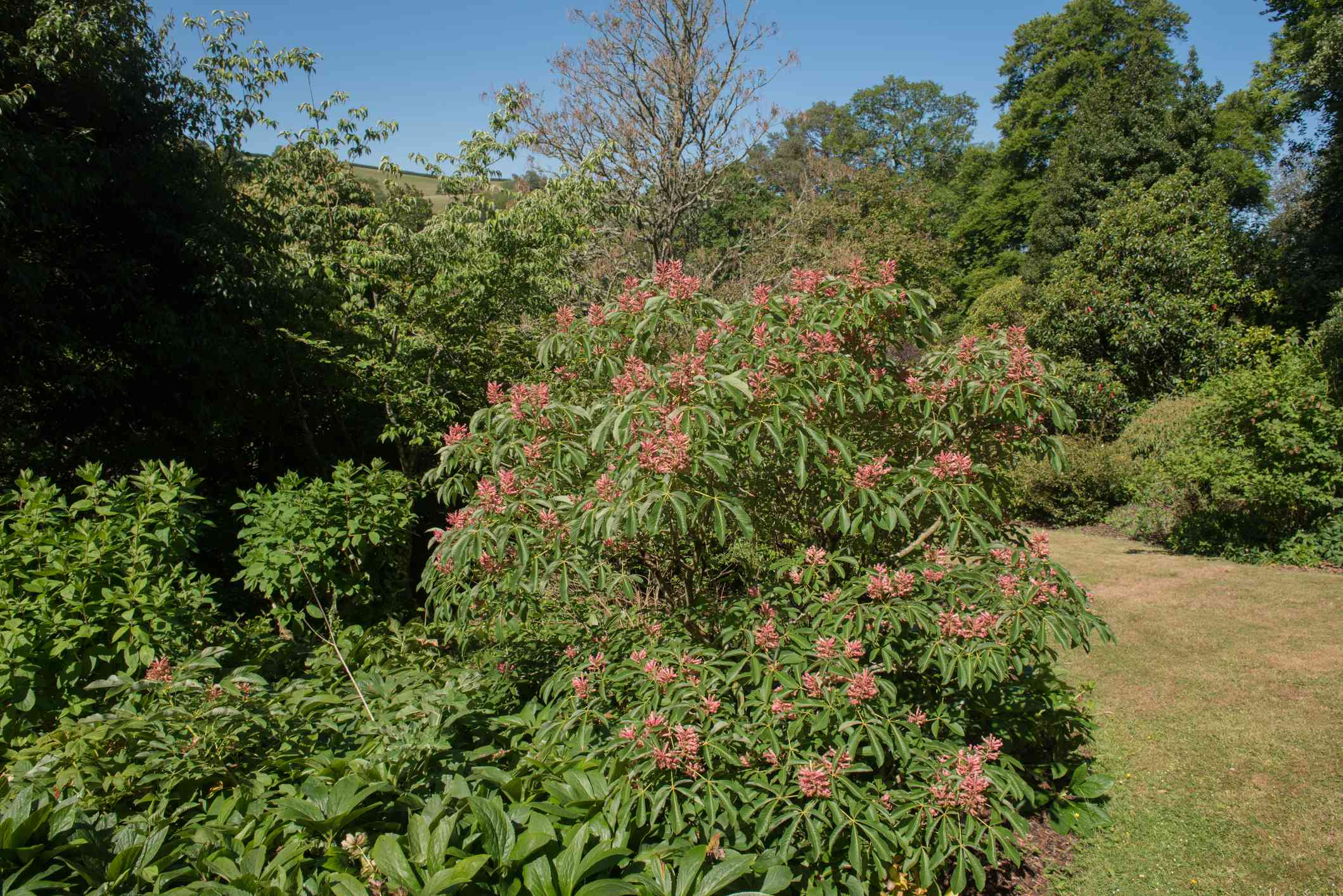 Summer Foliage and Flowers of a Deciduous Red Buckeye Shrub (Aesculus pavia 'Rosea nana') Growing in a Garden in Rural Devon, England, UK