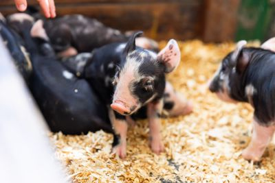 polka dot baby pigs in barn on hay