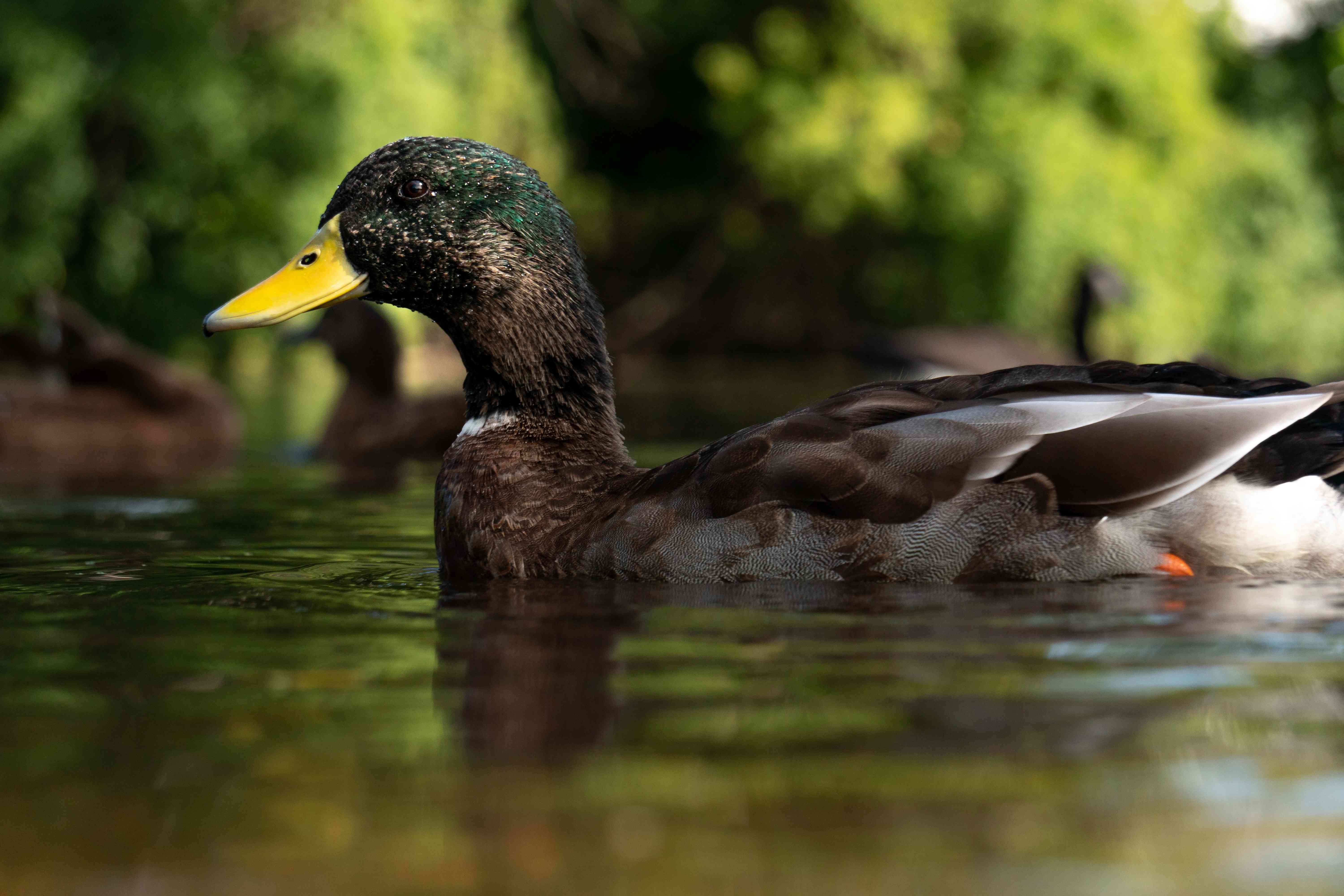 duck swims in green pond
