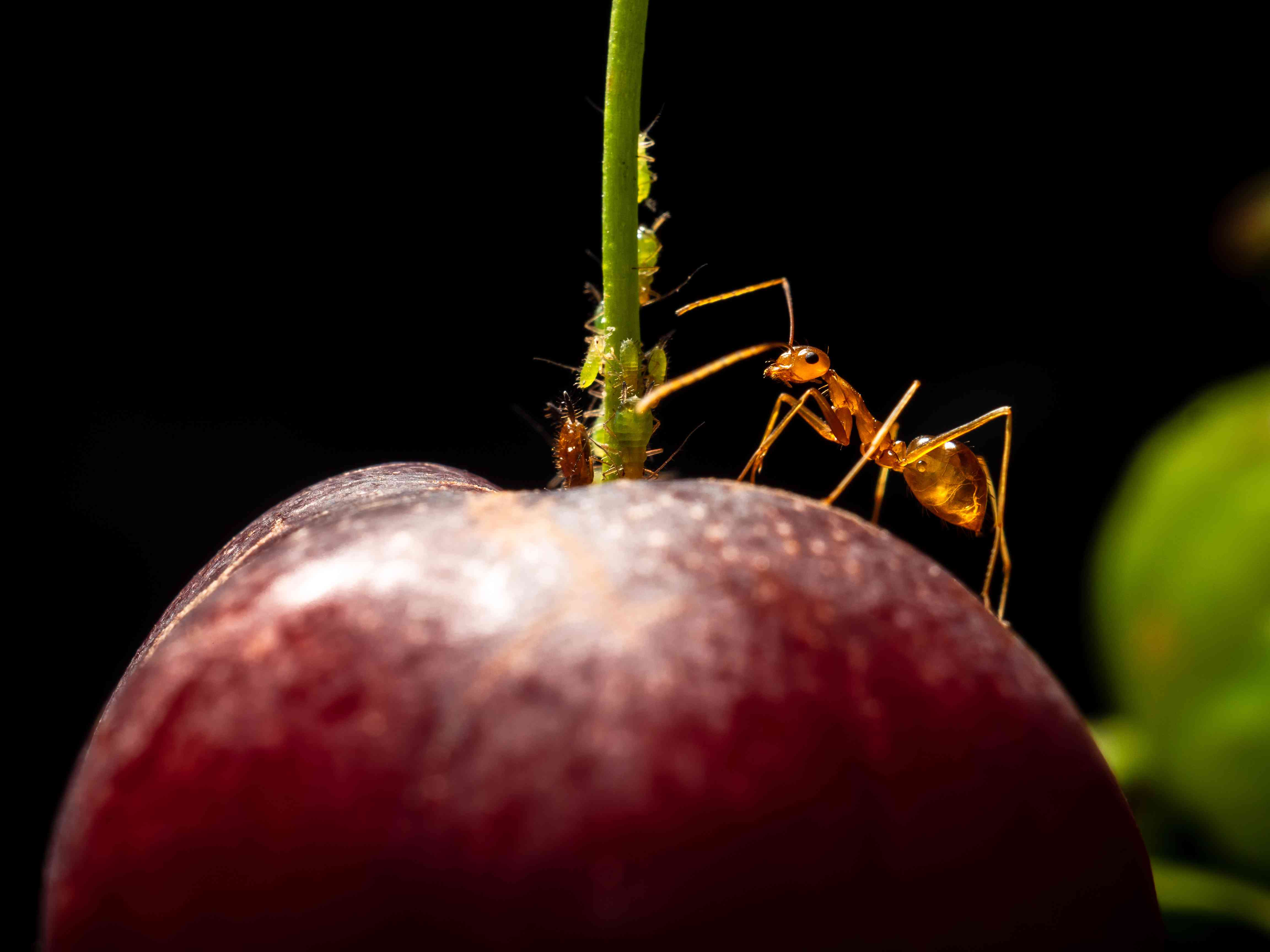 Yellow crazy ant protect aphids on a cherry