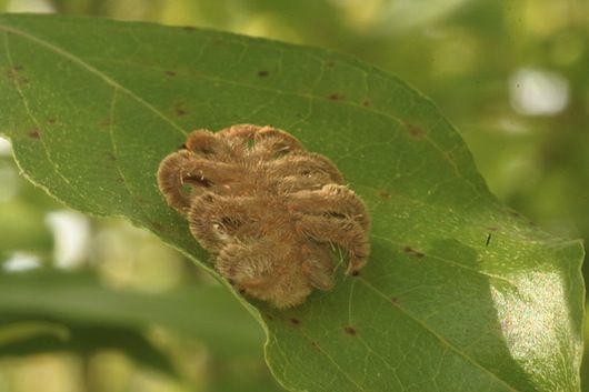 Monkey slug also known as hag moth