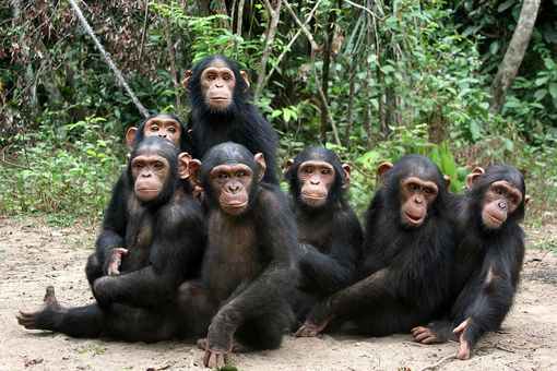 Group of chimpanzees