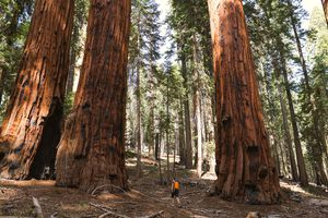 Hiker walking between giant sequoia trees
