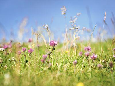 crimson clover field with cloudless blue sky