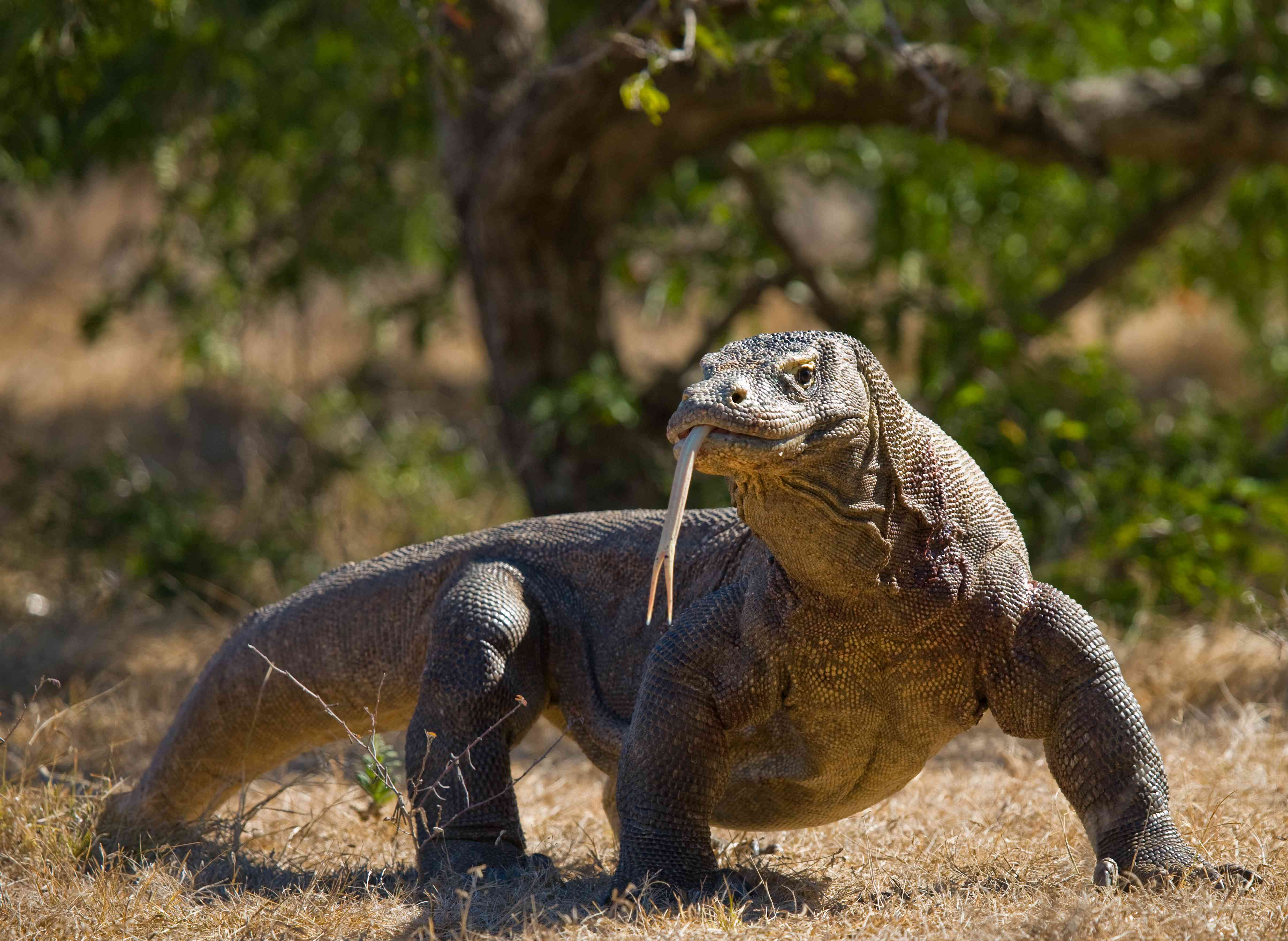 A komodo dragon walks with its tongue sticking out.
