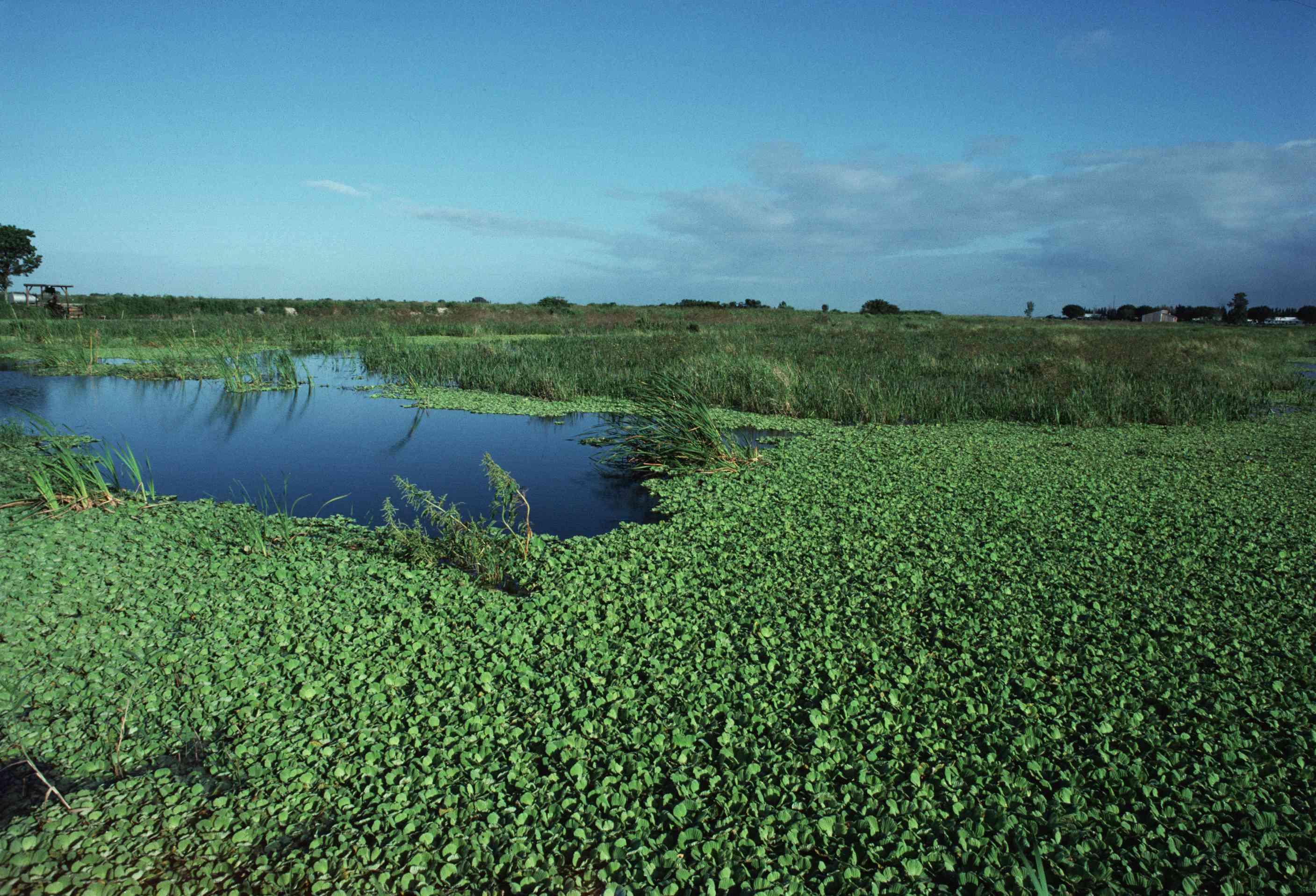 Water Hyacinth in Florida