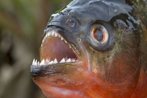 RED BELLIED PIRANHA OR RED PIRANHA