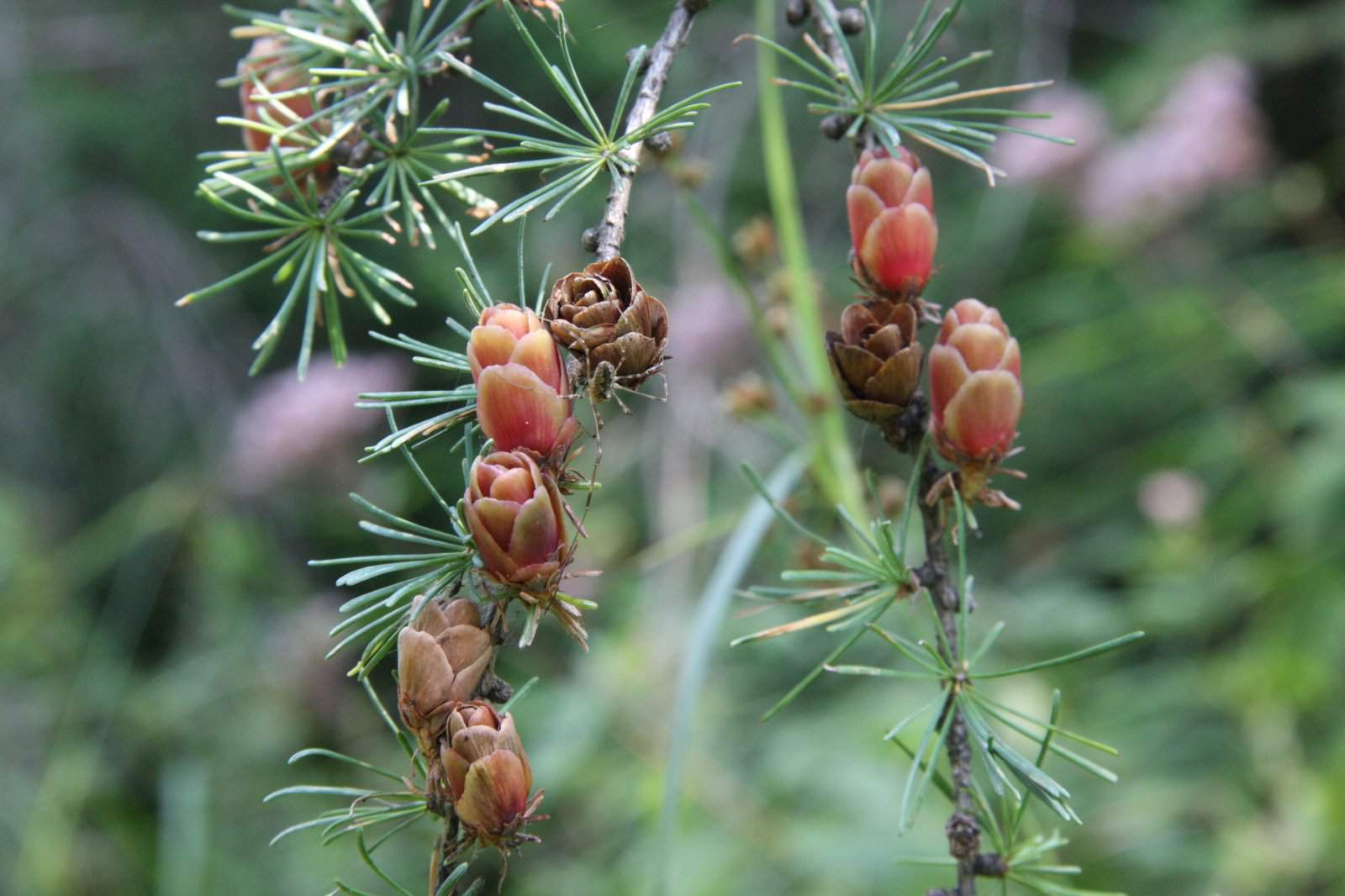 Close up of eastern larch cones
