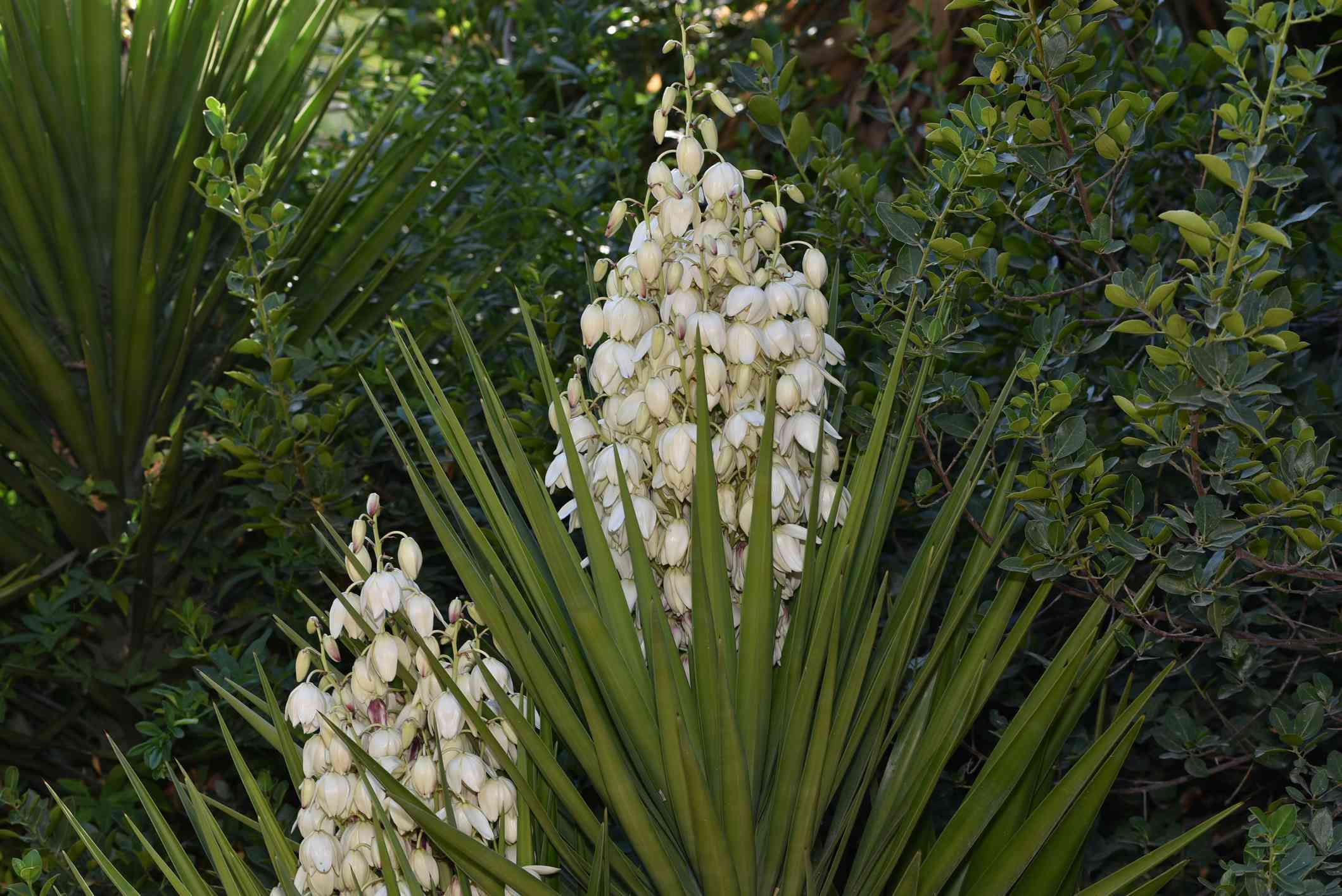 Yucca Filamentosa with white flowers in bloom