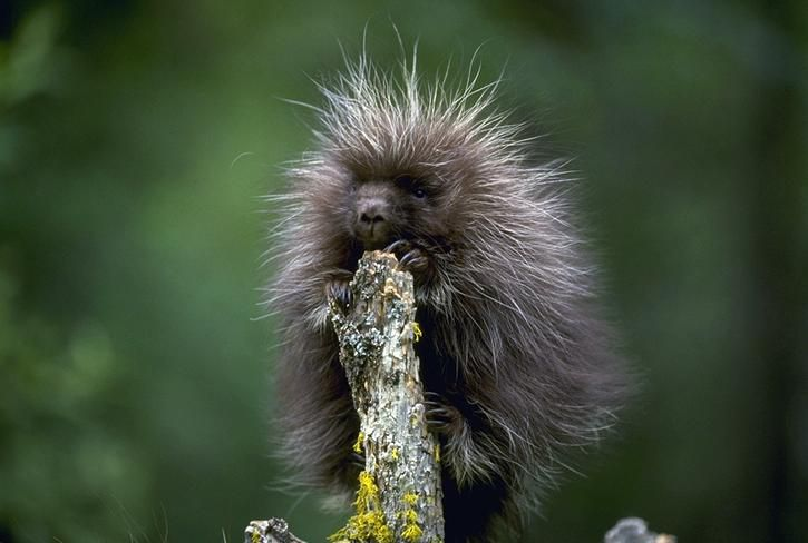 A porcupette, or baby porcupine, climbs a tree in California.