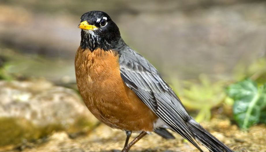 American Robins Migrating 12 Days Earlier Than They Did 25 Years Ago