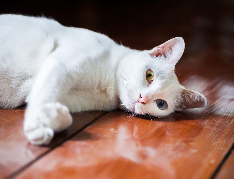 white Khao Manee cat lying on its side atop wooden table