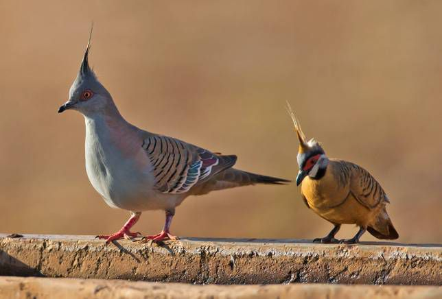 Crested pigeon and spinifex pigeon