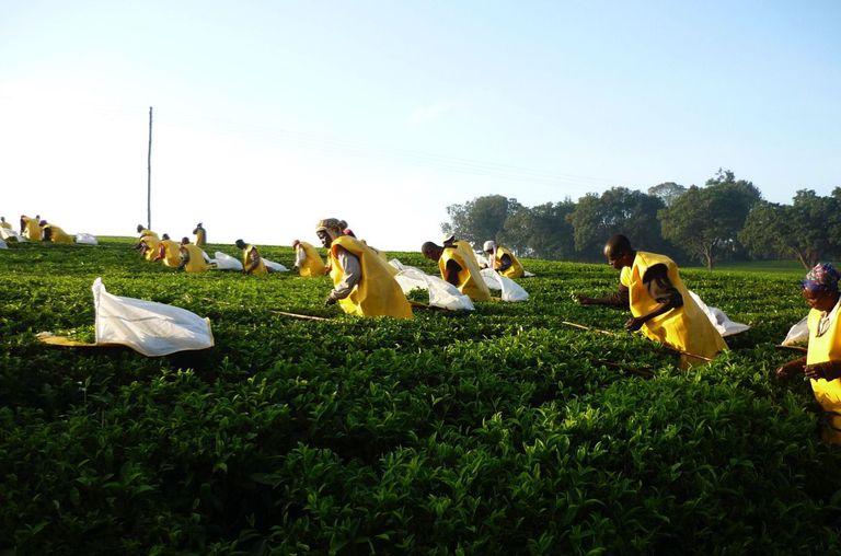 Picking tea for Unilever in Kenya.
