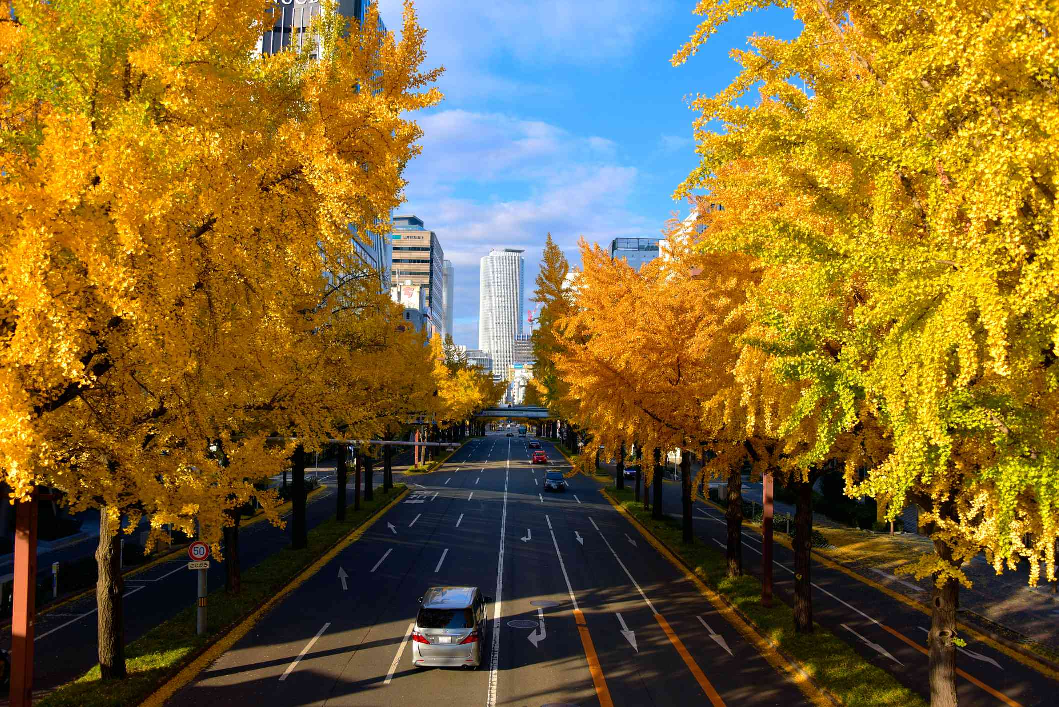 Gingko Biloba trees lined up against a highway in an urban setting.
