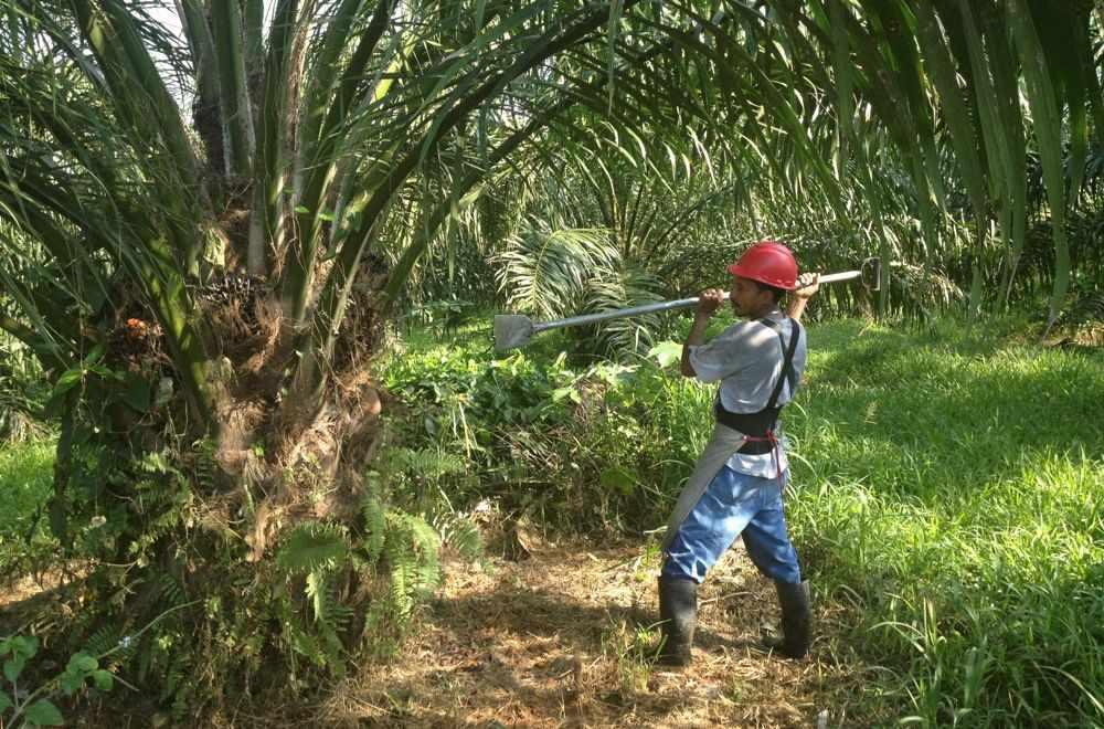 man harvesting palm fruit