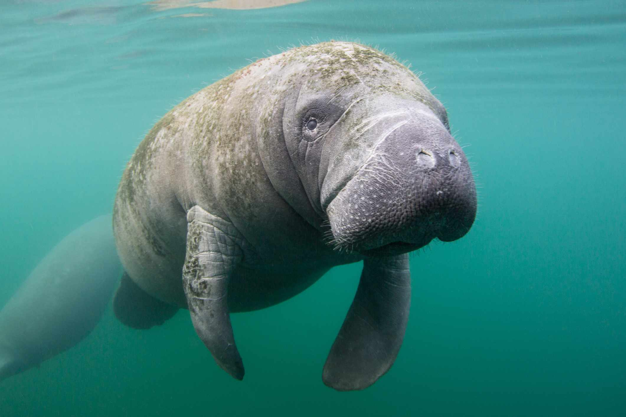 manatee floating in water