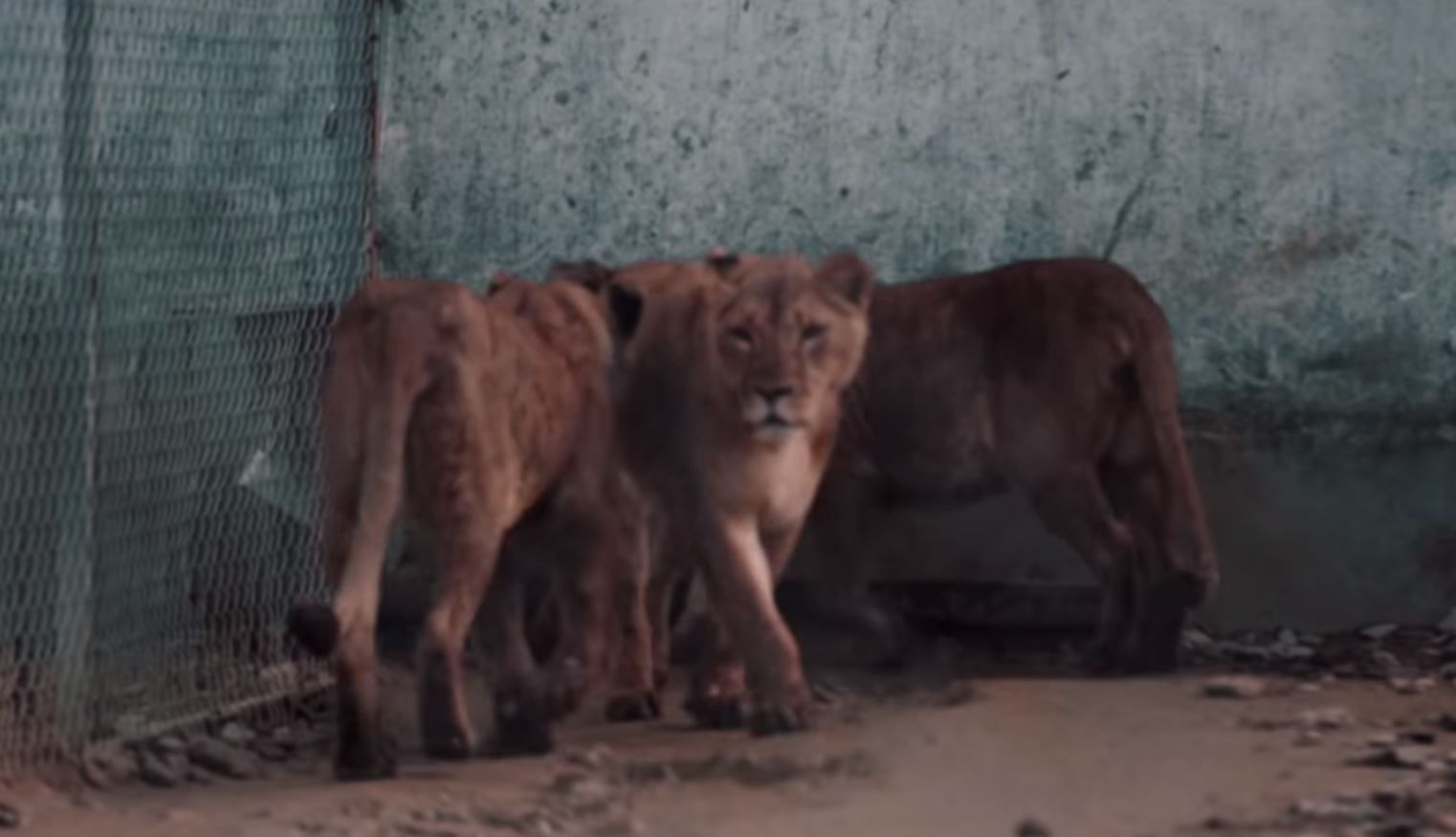 Three lions in a small enclosure.
