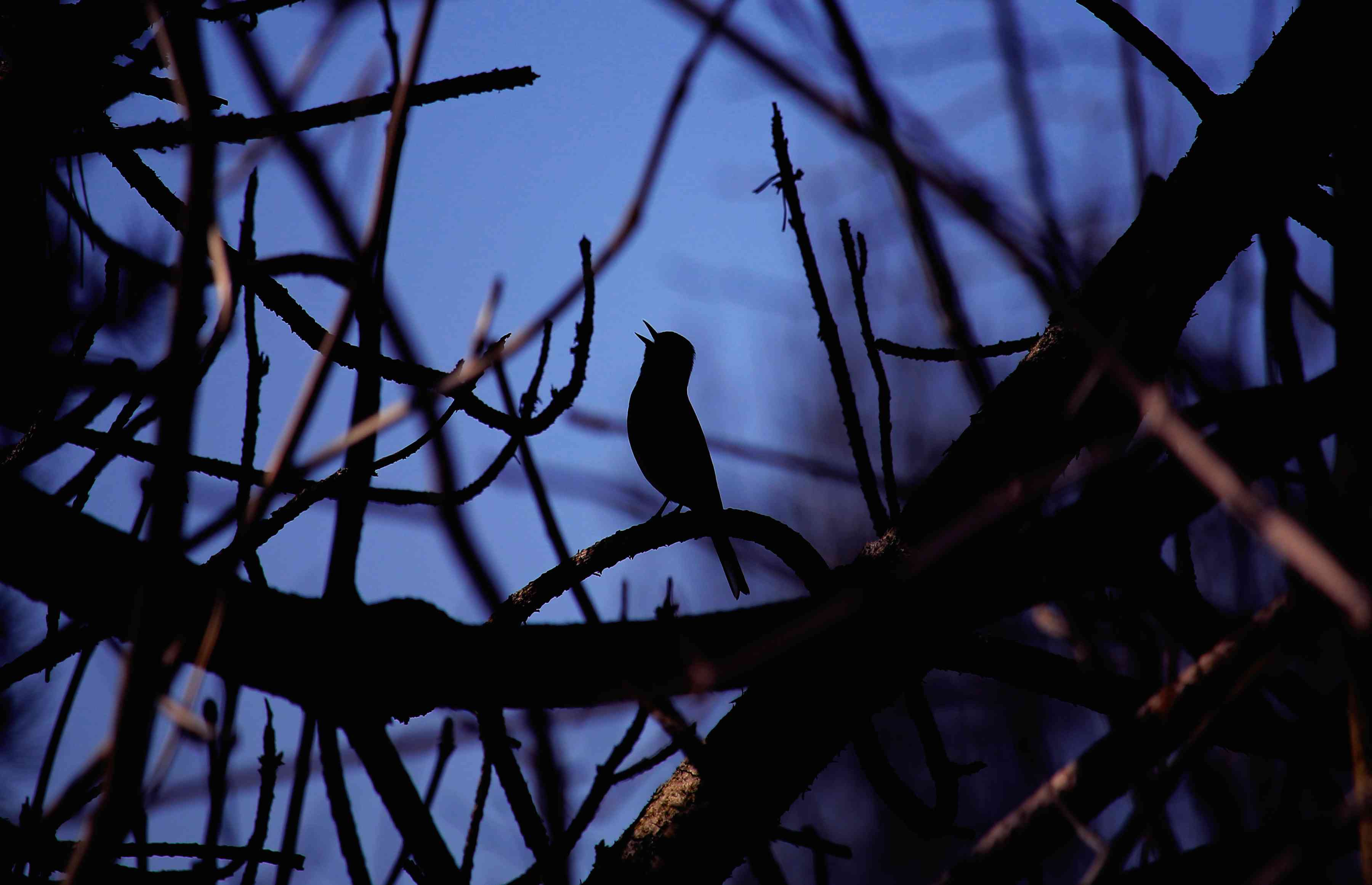Silhouette of a nightingale singing while perched on a branch