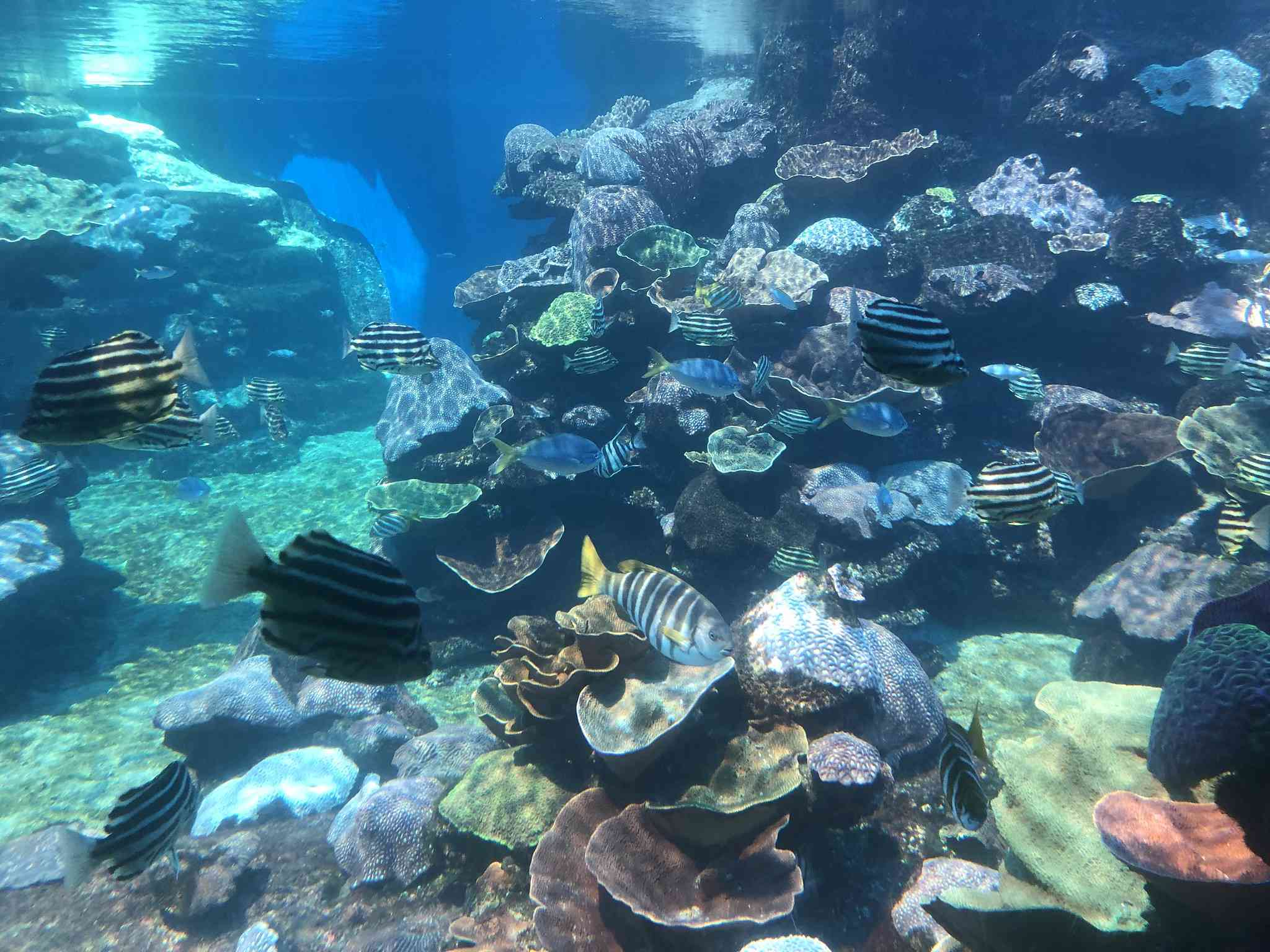 Colorful coral reef filled with zebra striped fish at the Aquarium of Western Australia