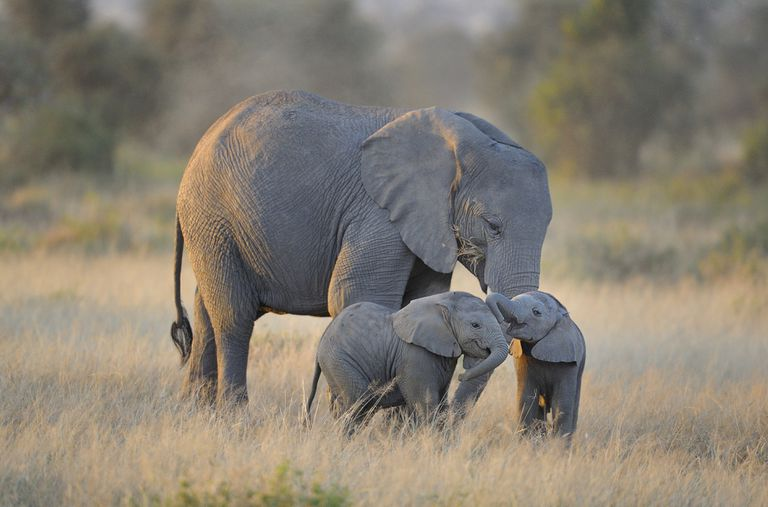 Mother elephant with two babies