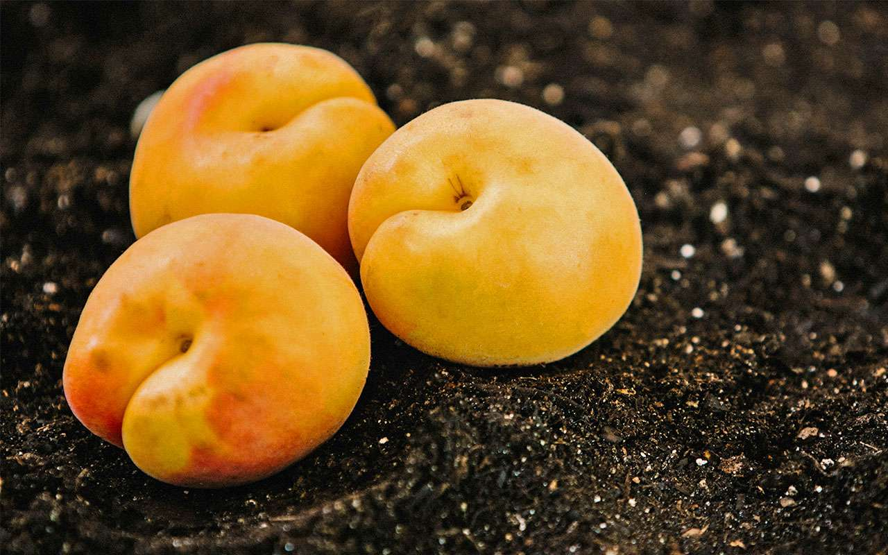 nectarine stone fruit on dirt soil ground